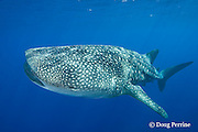 whale shark, Rhincodon typus, off Keauhou, Kona Coast, Hawaii Island, ( the Big Island ), Hawaiian Islands, USA ( Central Pacific Ocean ) tail of remora or sharksucker protruding from spiracle; another remora on flank behind gills