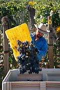 Horsepower harvest, Walla Walla AVA, Milton-Freewater, Oregon,