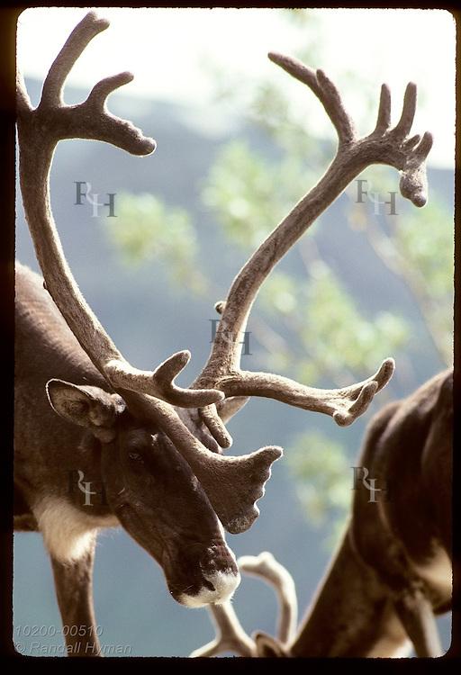 Caribou bull lowers head under weight of full antlers in velvet on August day; Denali National Park. Alaska