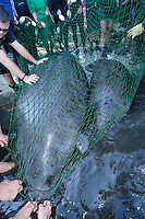 Manatee Health Assessments, Kings Bay, Crystal River, Citrus County, Florida USA. November 28, 2012 10:56am. Researchers from several federal and state agencies work together to gather data during the manatee capture and health assessments. A mother manatee is netted along with her calf. They will be kept and released together after the data and sample acquisition process. The manatees will only be kept out of the water for a safe, pre-determined timespan.
