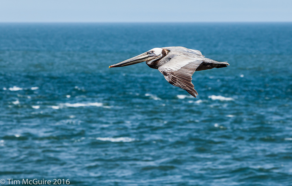 Brown Pelican in flight off the coast of California.
