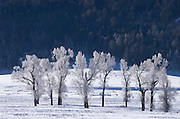 Ice-covered Cottonwood Trees in winter at Lamar Valley, Yellowstone National Park, Wyoming.