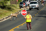 A Bighorn sheep ram walks across a road as park volunteers stop traffic in the Rocky Mountain National Park in Estes Park, Colorado.