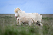 The magnificent icelandic horse.