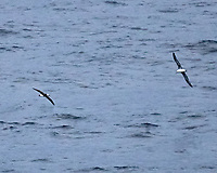 Pair of Laysan Albatross Fishing from the aft deck of the MV World Odyssey. Crossing the North Pacific Ocean from Hawaii to Japan. Image taken with a  Fuji X-T1 camera and 55-200 mm lens (ISO 6400, 200 mm, f/4.8, 1/1000 sec).