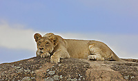 Lion (Panthera leo) resting on top of a boulder, Northern Serengeti
