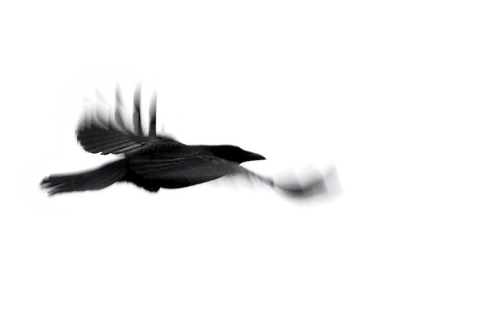 Raven Abstract<br /> This was a Raven taken in Chicago's Lincoln Park on a very icy cold day! The raven was like a streak of black across the snowy white sky.
