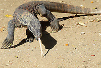 "Indonesie. ile de Rinca. Parc National de Komodo. Varan ou ""dragon de Komodo"". patrimoine Mondial de l'UNESCO. // Indonesia, Rinca island, Komodo National Park. Komodo dragon (Varanus komodoensis). Unesco World Heritage."