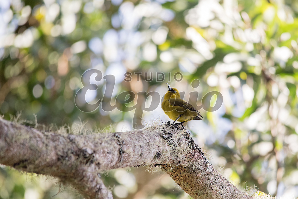 Akiapolaau (Hemignathus wilsoni) perching on a branch of koa (Acacia koa). Photographed at Puu Oo Trail on Hawaii Island.