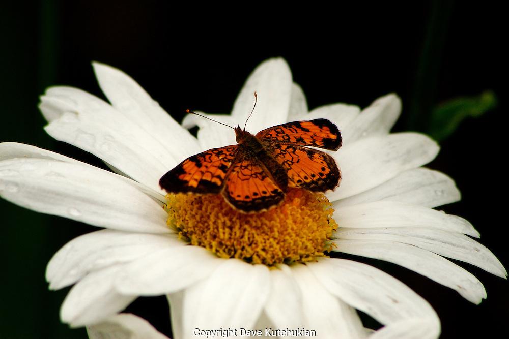 moth sitting on a daisy