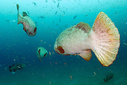 Goliath Grouper, Epinephelus itajara, and Cigar Minnows, Decapterus punctatus, swim near the shipwreck of the Mispah offshore Singer Island, Florida, United States. Fish displaying breeding coloration.