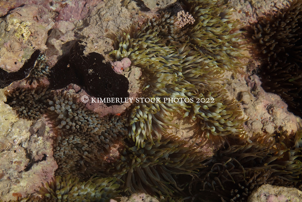 An anemone in a shallow pool in Talbot Bay on the Kimberley coast.