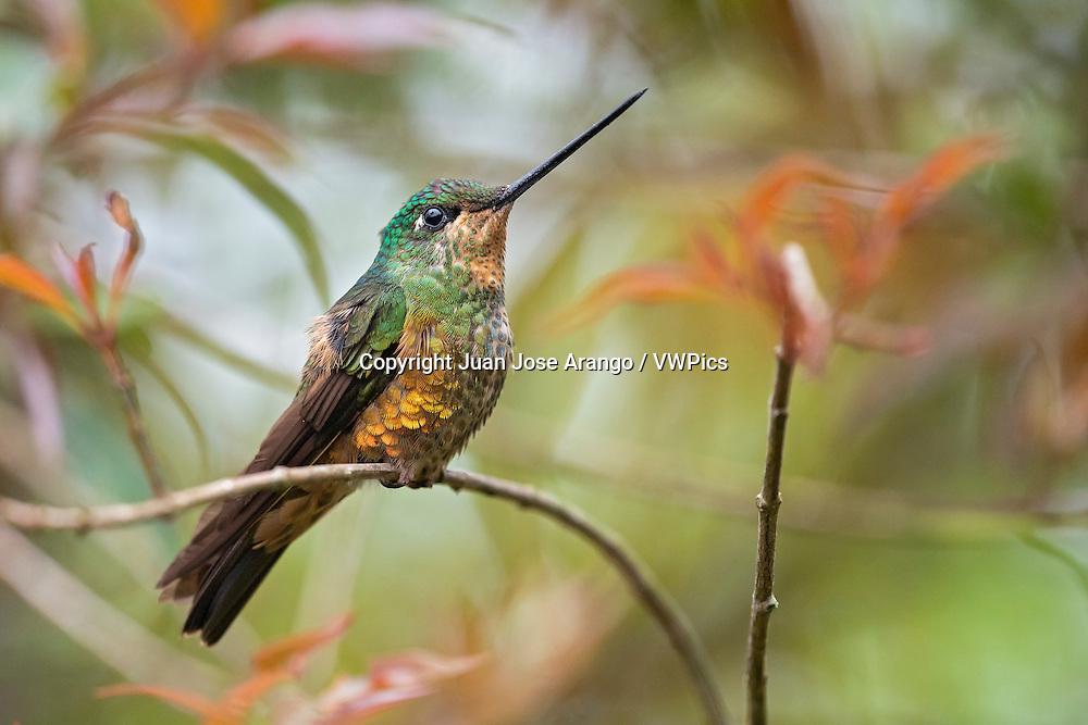 Golden-bellied Starfrontlet  (Coeligena bonapartei ) female, Chicaque, Cundinamarca