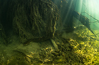 """A huge, female, green anaconda (Eunectes murinus) underwater in a river system in Bonito, Mato Grosso Sul, Brazil. Photographed while filming Tales by Light, Season 2, Episode 3, """"Misunderstood Predators"""", for Netflix and National Geographic Australia. August, 2016."""
