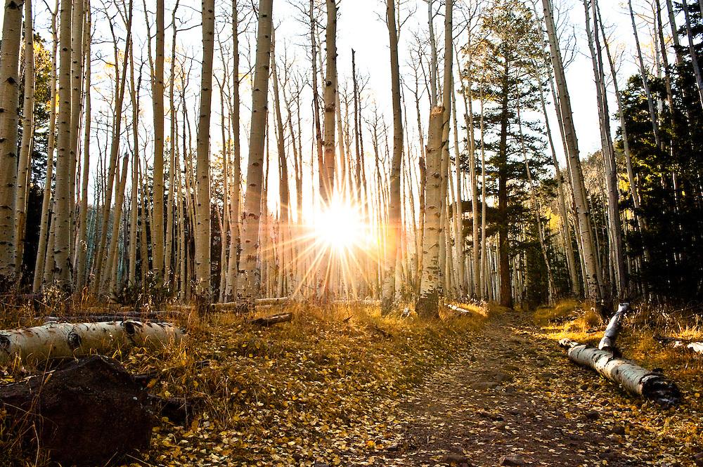 Fallen Aspen leaves in Northern AZ.