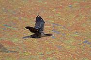 Little Cormorant - Phalacrocorax niger