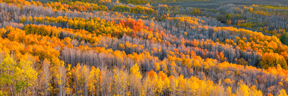 Late afternoon light warms a hillside of aspen trees on Steens Mountain, in southeast Oregon.