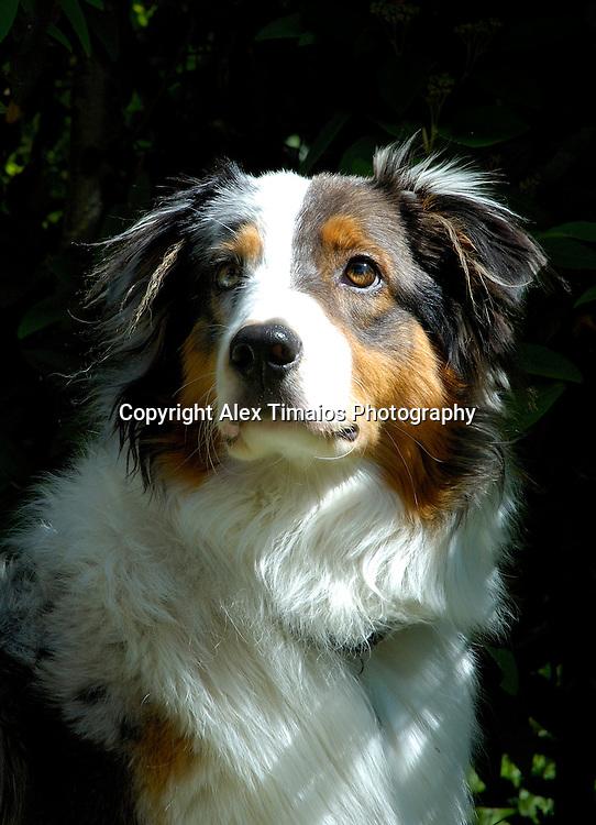 Young Australian Sheppard Dog