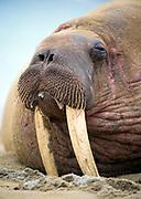 Portrait of a walrus from Phippsøys (part of Seven Islands) off northern Nordaustlandet, Svalbard. July 2012.