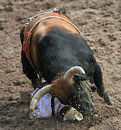 Bull Fighter gets plowed over by a bull, Championship Sunday, 29 July 2007, Cheyenne Frontier Days