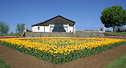 yellow tulips in garden with house in background