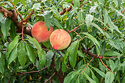 Peaches ripening on a tree in an orchard near Lijiang, Yunnan, China