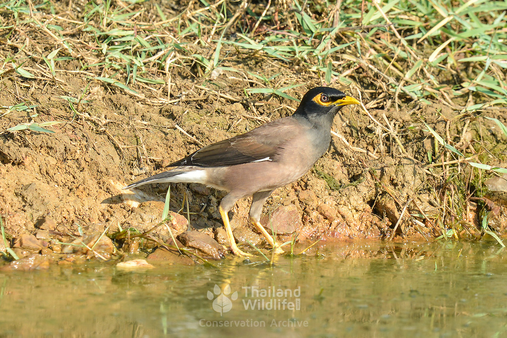 The common myna (Acridotheres tristis), sometimes spelled mynah, is a member of the family Sturnidae (starlings and mynas) nativ