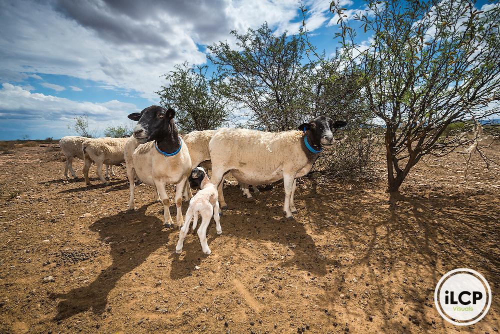Although predators are major cause of the disappearance of toddler lambs in the Karoo, environmental conditions also play an important role, particularly the drought.<br /> Near Prince Albert, Western Cape, South Africa / Bien que les pr&eacute;dateurs soient une des causes majeures de la disparition des agneaux en bas &acirc;ge dans le Karoo, les conditions environnementales jouent un r&ocirc;le important, et notamment la s&eacute;cheresse.<br /> Near Prince Albert, Western Cape, South Africa