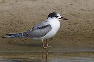 Forster's Tern - Sterna forsteri - Juvenile