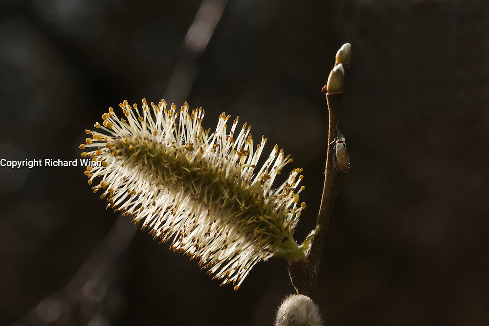 Closuep view of a willow tree catkin, backlit by the sun.