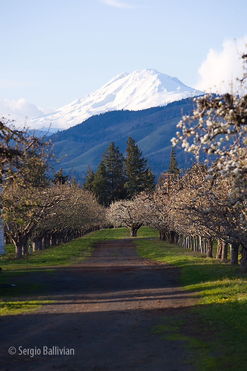 An orchard near Mount Adams, Oregon