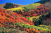 THIS PHOTO IS AVAILABLE FOR WEB DOWNLOAD ONLY. PLEASE CONTACT US FOR A LARGER PHOTO. Idaho. Eastern. Targhee National Forest in fall colors.