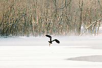 20% of the sale of these images will be donated to the National Eagle Center.