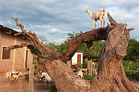 Goats in Isosog