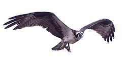 Osprey (Pandion haliaetus) on Monument, Castine, Maine, US