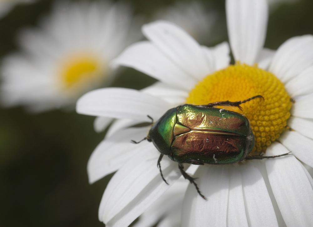 Rose chafer Beetle , Potosia cuprea, Burren meadow, Ireland