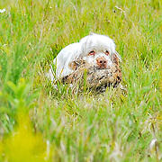 2017 Mid-America Clumber Spaniel Field Society | Fun Hunt