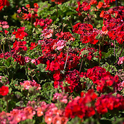 March 6, 2015, Indian Wells, California:<br /> Flowers are shown at the Indian Wells Tennis Garden in Indian Wells, California Friday, March 6, 2015.<br /> (Photo by Billie Weiss/BNP Paribas Open)