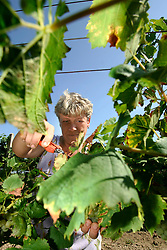 CZECH REPUBLIC MORAVIA JECMENISTE 10SEP05 - Women from a wine growers' cooperative in Jecmeniste pick grapes during the seasonal wine harvest. Southern Moravia's centuries-old traditions in wine growing make it a well-established wine region...jre/Photo by Jiri Rezac..© Jiri Rezac 2005..Contact: +44 (0) 7050 110 417.Mobile:  +44 (0) 7801 337 683.Office:  +44 (0) 20 8968 9635..Email:   jiri@jirirezac.com.Web:     www.jirirezac.com..© All images Jiri Rezac 2005 - All rights reserved.