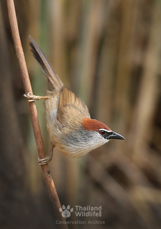 The chestnut-capped babbler (Timalia pileata) is a passerine bird of the Timaliidae family. It is monotypic within the genus Timalia.
