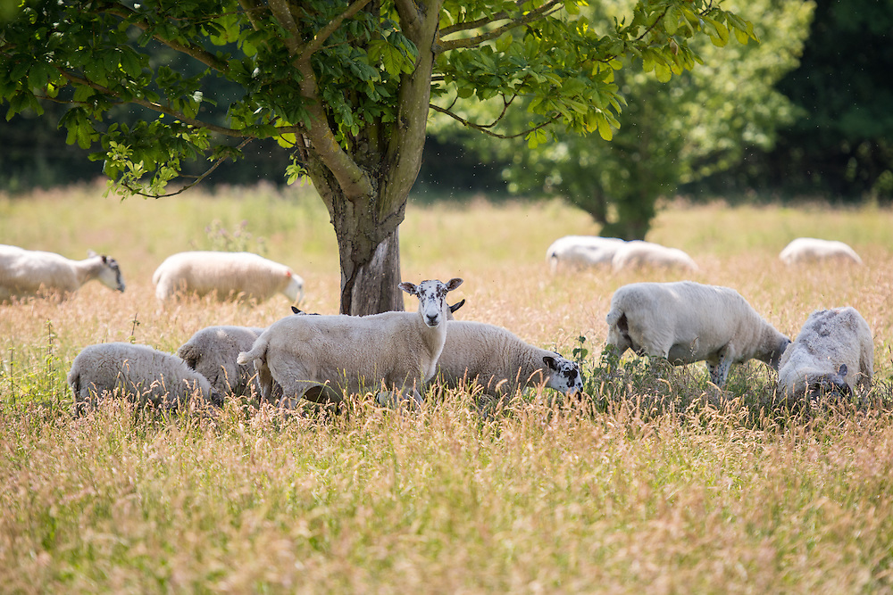 UK, England, Yorkshire - Sheep in a pasture on the grounds of the historic Kiplin Hall in Yorkshire, England.
