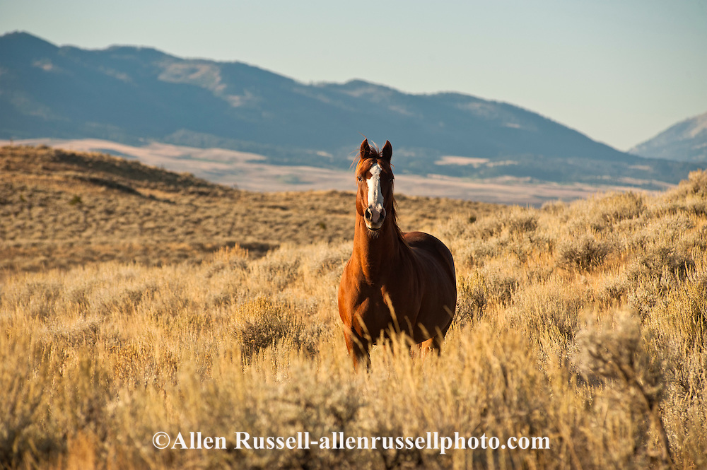 Quarter Horse, sagebrush,  Bridger Mountains, PROPERTY RELEASED
