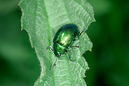 Mint Leaf Beetle - Chrysolina menthastri