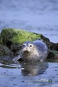 Pacific Harbor Seal<br /> Phoca vitulina<br /> 3 week old pup<br /> Elkhorn Slough, Monterey, CA