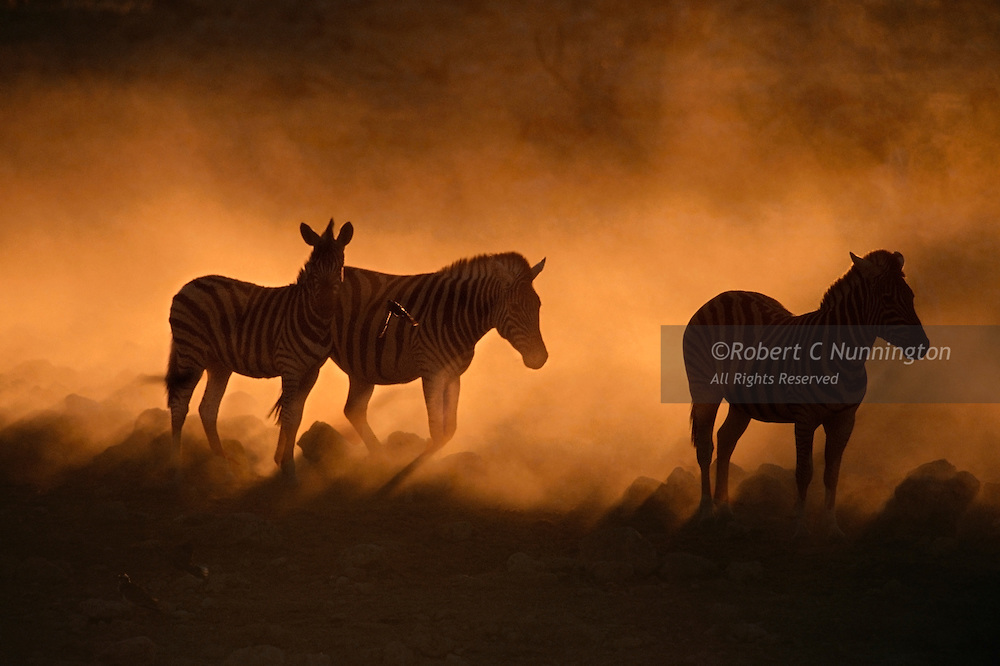 Thirsty zebras wait to drink at a waterhole lit by the harsh setting sun and dust of the desert