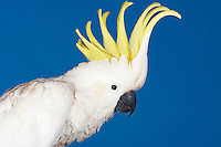 Cockatoo on blue background side view
