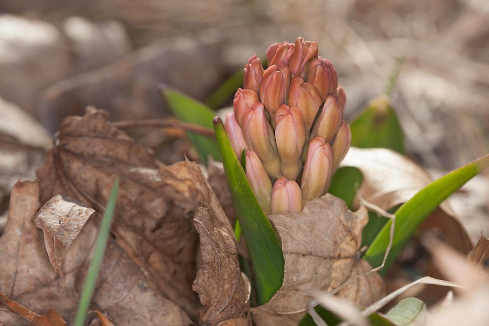 Hyacinth flower budding through leaves