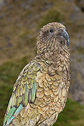 New Zealand pictures of the kea parrot can be commonly taken in Fiorland or in Arthur's Pass, on the South Island of New Zealand.