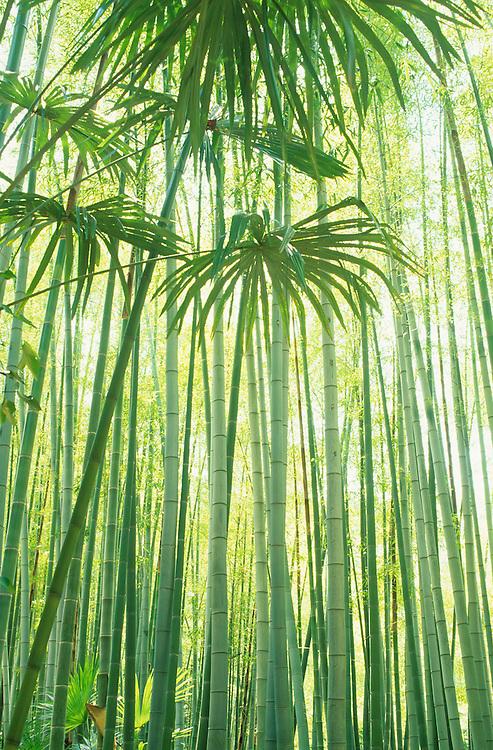 France, Languedoc Roussillon, Gard, Cévennes,  Anduze, bambouseraie, bambous géants