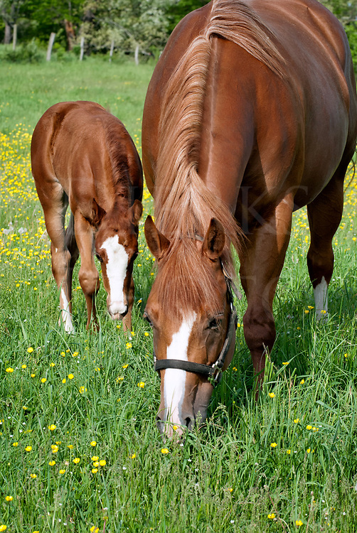 Horses grazing in spring buttercup field, a mare and her young foal baby, purebred quarterhorses, Pennsylvania, PA ,USA.